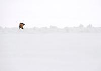Chipmunk in snow on Lake Oneida, New York.