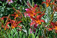 Hemerocallis daylily red orange spider type in garden use in bloom in summer, perennial easy plant