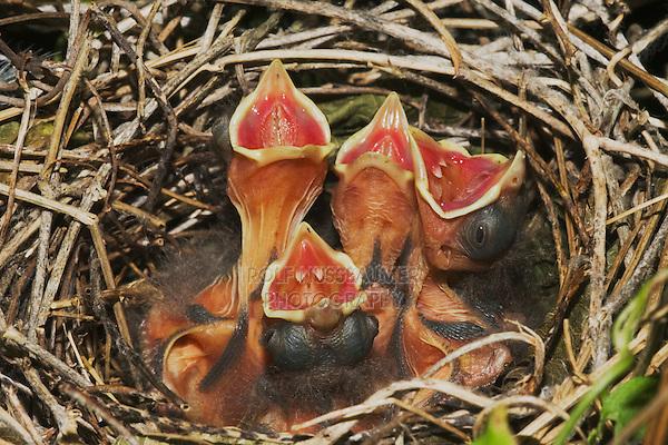 Northern Cardinal (Cardinalis cardinalis), young in nest, Sinton, Corpus Christi, Coastal Bend, Texas, USA