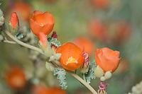 Desert Globemallow or Apricot Mallow (Sphaeralcea ambigua)--common wildflower of desert Southwest.  Feb-March.