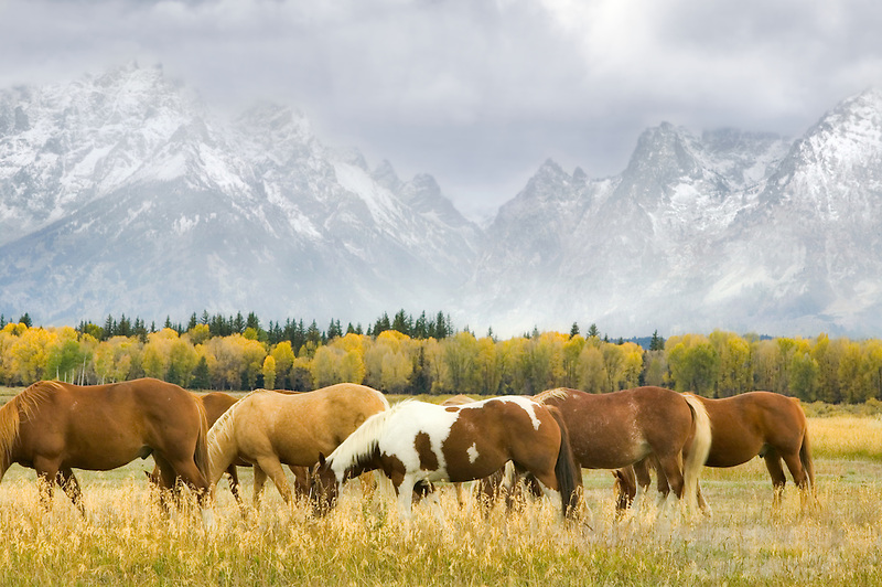 Horses, fall color and Teton Mountains in storm. Teton National Park, Wyoming