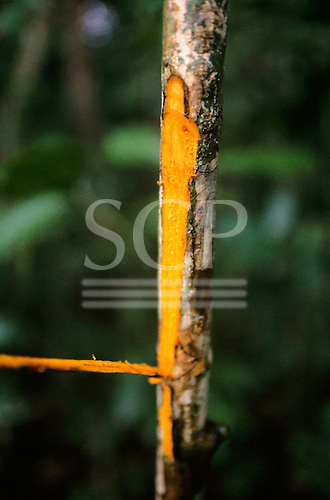 Amazon, Brazil. Quinine (Chinchona sp.); strip of bark cut from the stem; medicinal plant.