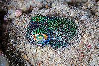 hummingbird bobtail squid, Euprymna berryi, aka Berry's bobtail squid, hiding in sand to ambush a prey, Komodo National Park, Lesser Sunda Islands, Indonesia, Pacific Ocean