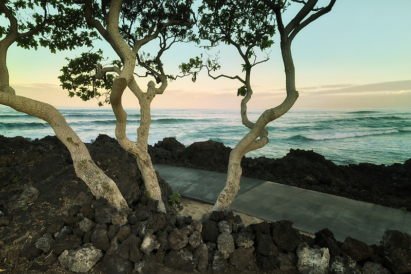 Heliotrope trees with ocean. The Big Island, Hawaii.