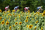 The breakaway, featuring Stephane Rossetto and Anthony Perez (FRA) Cofidis, Aime De Gendt (BEL) Wanty-Gobert and local Albi man Lilian Calmejane (FRA) Total Direct Energie, race by the sunflower fields during Stage 11 of the 2019 Tour de France running 167km from Albi to Toulouse, France. 17th July 2019.<br /> Picture: ASO/Alex Broadway   Cyclefile<br /> All photos usage must carry mandatory copyright credit (© Cyclefile   ASO/Alex Broadway)