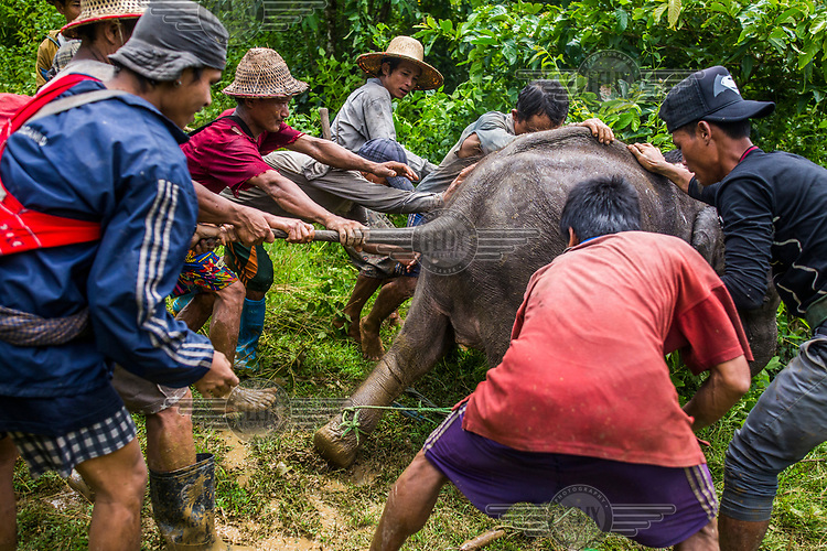 Mahouts together with forestry rangers and police, attempt to capture the 8-month-old female calf Ayarthu who became an orphan after her mother was killed for her skin by poachers in the Nga Pu Taw. <br /><br />Following the death of her mother the terrified baby elephant  was separated from her herd and bgan to encroach on farmland. The villagers in the area reported  her presence to the forestry department who captured and sent her to the camp for orphaned wild elephants at Wingabaw in the Bago region.