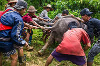 Mahouts together with forestry rangers and police, attempt to capture the 8-month-old female calf Ayarthu who became an orphan after her mother was killed for her skin by poachers in the Nga Pu Taw. <br />