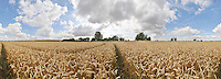 Ripe wheat under sunny sky with clouds. South Oxfordshire. 5 August 2011. Full 360degree cylindrical panorama.