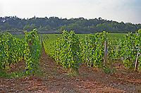 Vineyard in Chambolle Musigny, Bourgogne