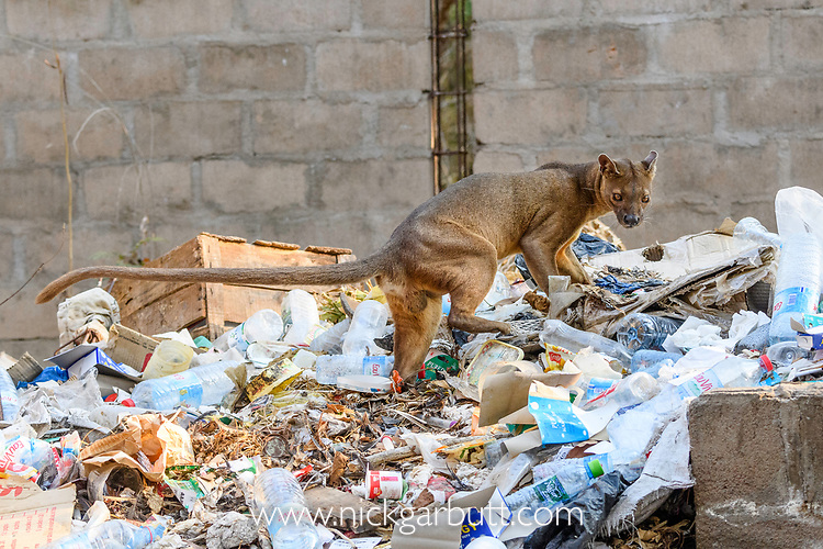 Male fosa (Cryptoprocta ferox)(sometimes erroneously fossa) scavenging on field camp rubbish tip in dry decidous forest. Kirindy, western Madagascar. Endangered.