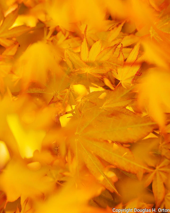 Laceleaf, Golden Japanese mapale tree leafs in spring!  Multiple exposure.