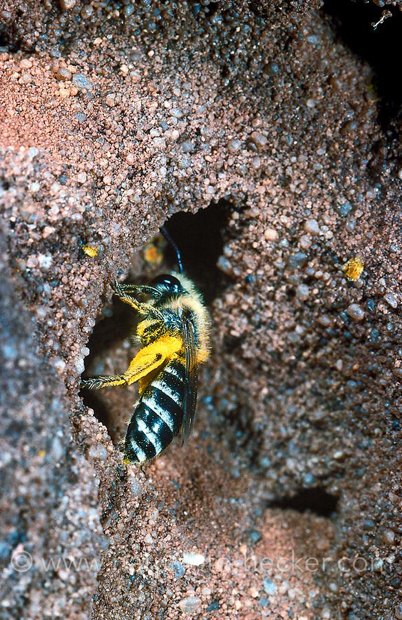 Seidenbiene, Gemeine Seidenbiene, Buckel-Seidenbiene, Buckelseidenbiene, Nest, Neströhre, Niströhre, Colletes daviesanus, Davies' Colletes, plasterer bee, la collète commune, Seidenbienen, plasterer bees