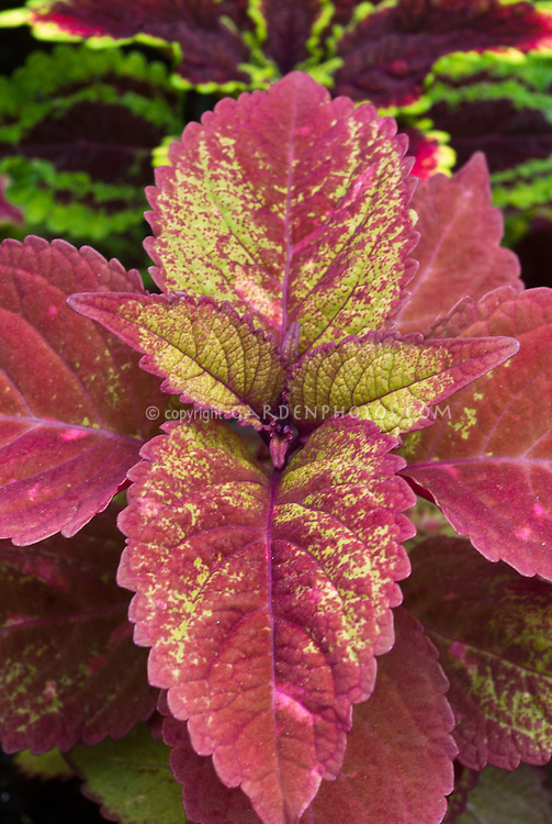 Solenostemon Coleus Colorblaze Royal Glissade annual foliage plant in maroon red and yellow leaf colors. Jagged moss-green leaves with raspberry venation