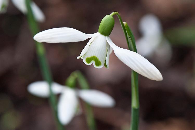 Snowdrop (Galanthus 'S. Arnott'), late February.