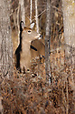 00275-192.07 White-tailed Deer (DIGITAL) doe is in heavy cover during fall.  Prey, hunt, hunting, wildlife.  V4F1