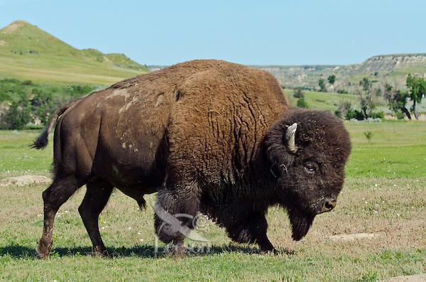 American Bison bull (Bison bison) walking through prairie area.  Northern Great Plains, summer