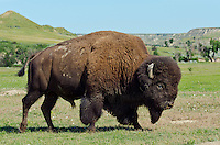 American Bison bull (Bison bison) walking through prairie area.  Northern Great Plains, summer