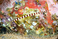 banded pipefish, Dunckerocampus dactyliophorus, female, and skeleton shrimp, Caprellide sp., Dumaguete, Philippines, Pacific Ocean - blurry area below the pipefish is where fresh water is percolating up through the sand and mixing with the salt water