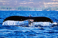 humpback whale with mutilated fluke, .Megaptera novaeangliae, .Hawaii (Pacific).