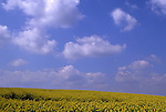 Europe, DEU, Germany, Northrhine Westphalia, Lower Rhine, Krefeld, Rapeseed field in spring, Clouds, Brassica napus var. napus....[ For each utilisation of my images my General Terms and Conditions are mandatory. Usage only against use message and proof. Download of my General Terms and Conditions under http://www.image-box.com or ask for sending. A clearance before usage is necessary...Material is subject to royalties. Each utilisation of my images is subject to a fee in accordance to the present valid MFM-List...Contact | archive@image-box.com | www.image-box.com ]