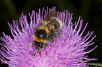 Gartenhummel, Bombus hortorum, Megabombus hortorum, beim Blütenbesuch, Nektarsuche, Bestäubung, small garden bumble bee