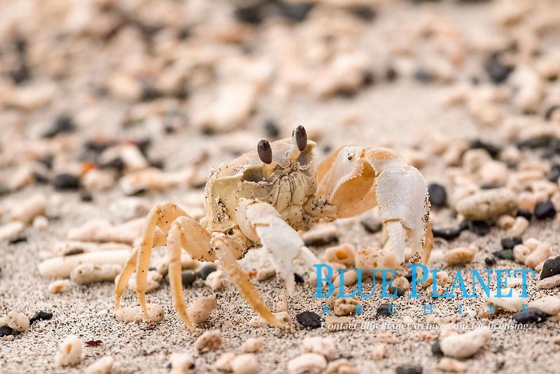Stimpson's ghost crab, Ocypode stimpsoni, Chichi-jima, Bonin Islands, Ogasawara Islands, UNESCO Natural World Heritage Site,  Tokyo, Japan, Pacific Ocean