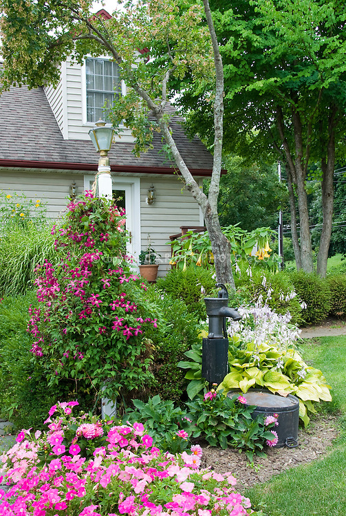 Petunias and Dahlias and Clematis in pink color theme garden flowers, with buxus, old fashioned water pump, yellow hostas in bloom, Cape Cod style house, stone wall, lamp post, curb appeal, vines, trees, perennials, annuals mixed combination of plantings