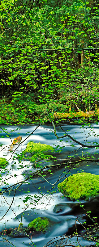 M00011L.tiff   McKenzie River with new growth on Vine Maple trees and mossy rocks. Oregon