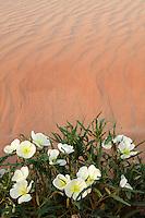 Sand Verbena (Abronia villosa) and Dune Evening Primrose (Oenothera deltoides), Imperial Sand Dunes Recreation Area, Southern California