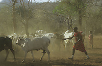 TANZANIA Handeni, Masai nomads with Zebu cow herd, spray vaccination as protection against cow pest / TANSANIA Handeni, Masai Nomaden mit Zebu Rinderherde im Kral, Schutzimpfung gegen Rinderpest durch Verspruehen von Impfstoff
