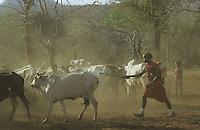 TANZANIA Handeni, Masai nomads with Zebu cow herd, spray vaccination as protection against cow pest / TANSANIA Handeni, Masai Nomaden mit Zebu Rinderherde im Kral, Schutzimpfung gegen Rinderpest durch Verspruehen von Impfstoff