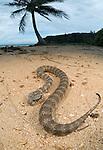 Common Death Adder (Acanthophis antarcticus) on sandy beach