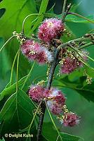 HY16-004c  Oak Gall - on Oak - Acraspis erinacei
