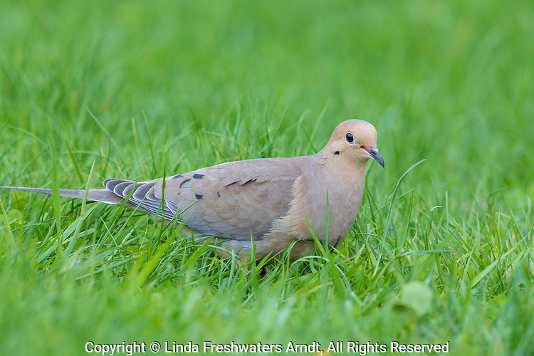 Mourning dove in a northern Wisconsin backyard.