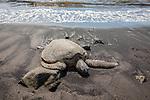 Tagged Green Turtle, Punalu'u Black Sand Beach