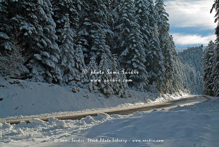 Rural road flanked by snow-covered fir trees, Chabanon, French Alps, France.