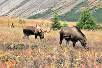 A bull moose follows a cow during the fall rut in Chugach State Park.