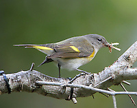Adult female American redstart in fall migration with moth