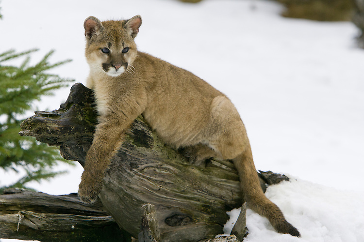 Puma kitten relaxing on an old log - CA
