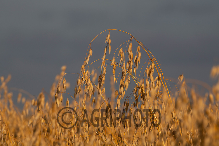 13-8-2021 Oats ready for harvest in Lincolnshire <br /> ©Tim Scrivener Photographer 07850 303986<br />      ....Covering Agriculture In The UK....