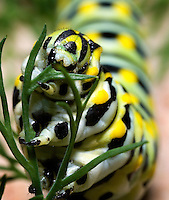 The Black Swallowtail caterpillar eating dill