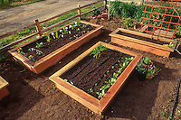 Seedling vegetables in wooden box raised beds