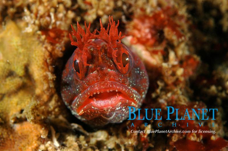 Yellowfin Fringhead, Neoclinus stephensae San Diego, Ca. USA Pacific Ocean
