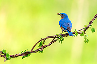 A eastern bluebird brings back some vittles for the hungry young.  Step one in such a photograph, find an active nesting bluebird...