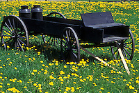 wagon, dandelion, spring, Sheffield, VT, Vermont, Antique wagon in a field of dandelions in Sheffield in the spring.