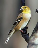 Male American goldfinch in February