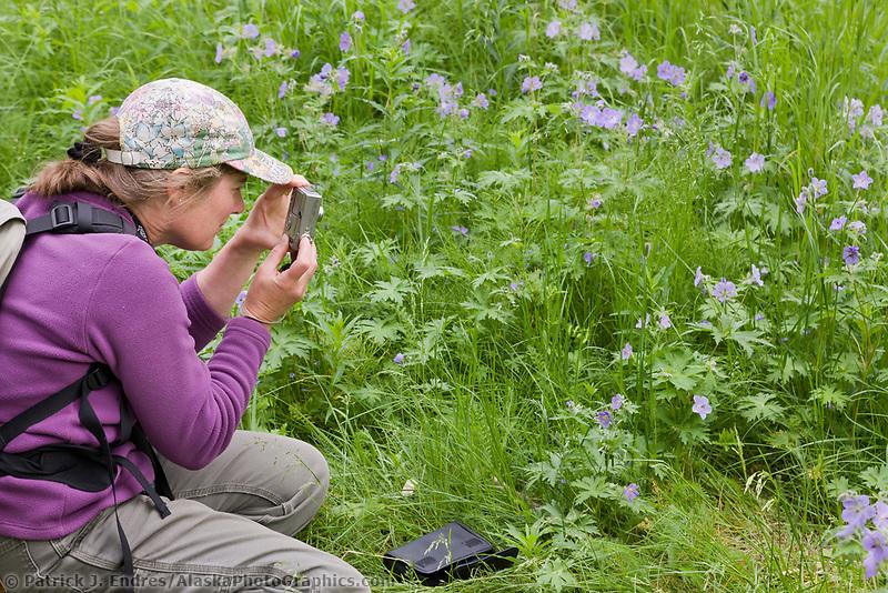 Hike pauses to photograph Wild geranium flowers along a trail, Katmai National Park, southwest, Alaska.