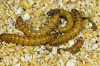 1C33-004a  Flour Beetle - larva - Tenebrio spp.