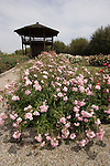 BONICA ROSE BUSH AND OBSERVATION TOWER AT MARY BALEN ZANINOVICH MEMORIAL GARDEN AT MCFARLAND CA USA