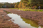 Fall color at a cranberry bog in Brewster, Cape Cod, Massachusetts, USA